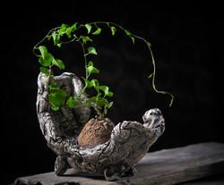 dioscorea elephantipes pot D217