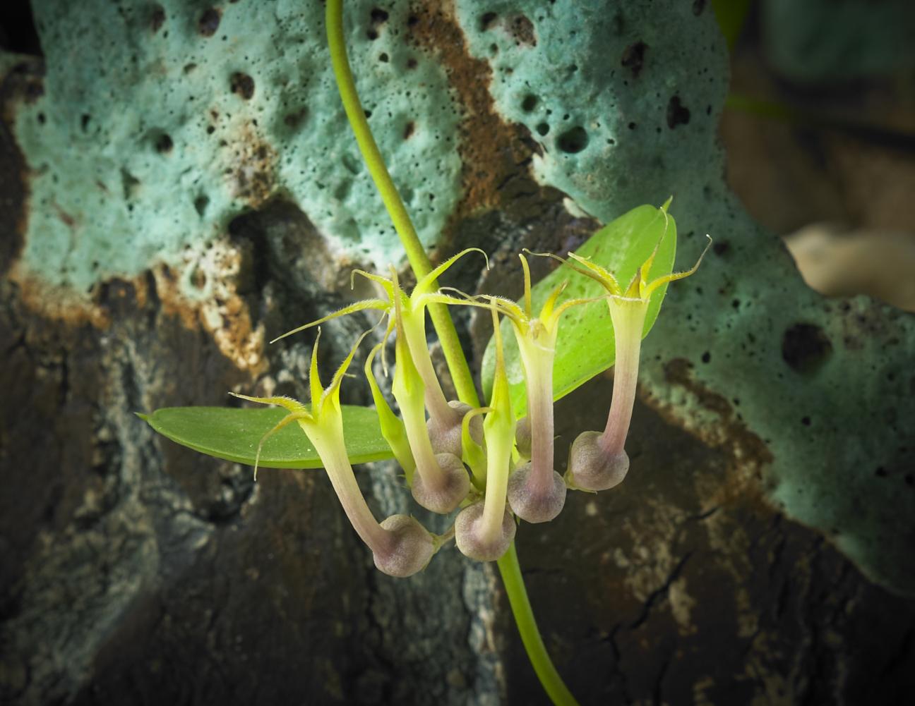 ceropegia multiflora