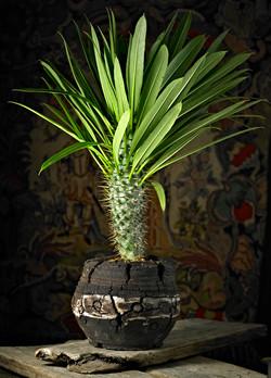Pachypodium Lameri.