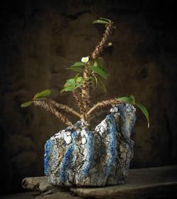 Euphorbia Millii in D89 breakfast at tiffany's pot