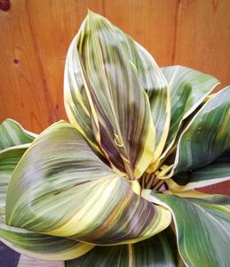 Cordyline Mocha Latte, lovely striped ti plant