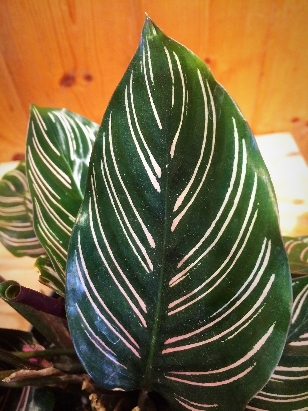 Pin-stripe calathea aka Calathea Ornata