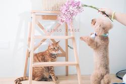Lingo image_寵物77