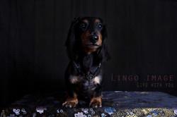Lingo image_寵物61