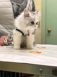 Ragdoll Kitten.JPG