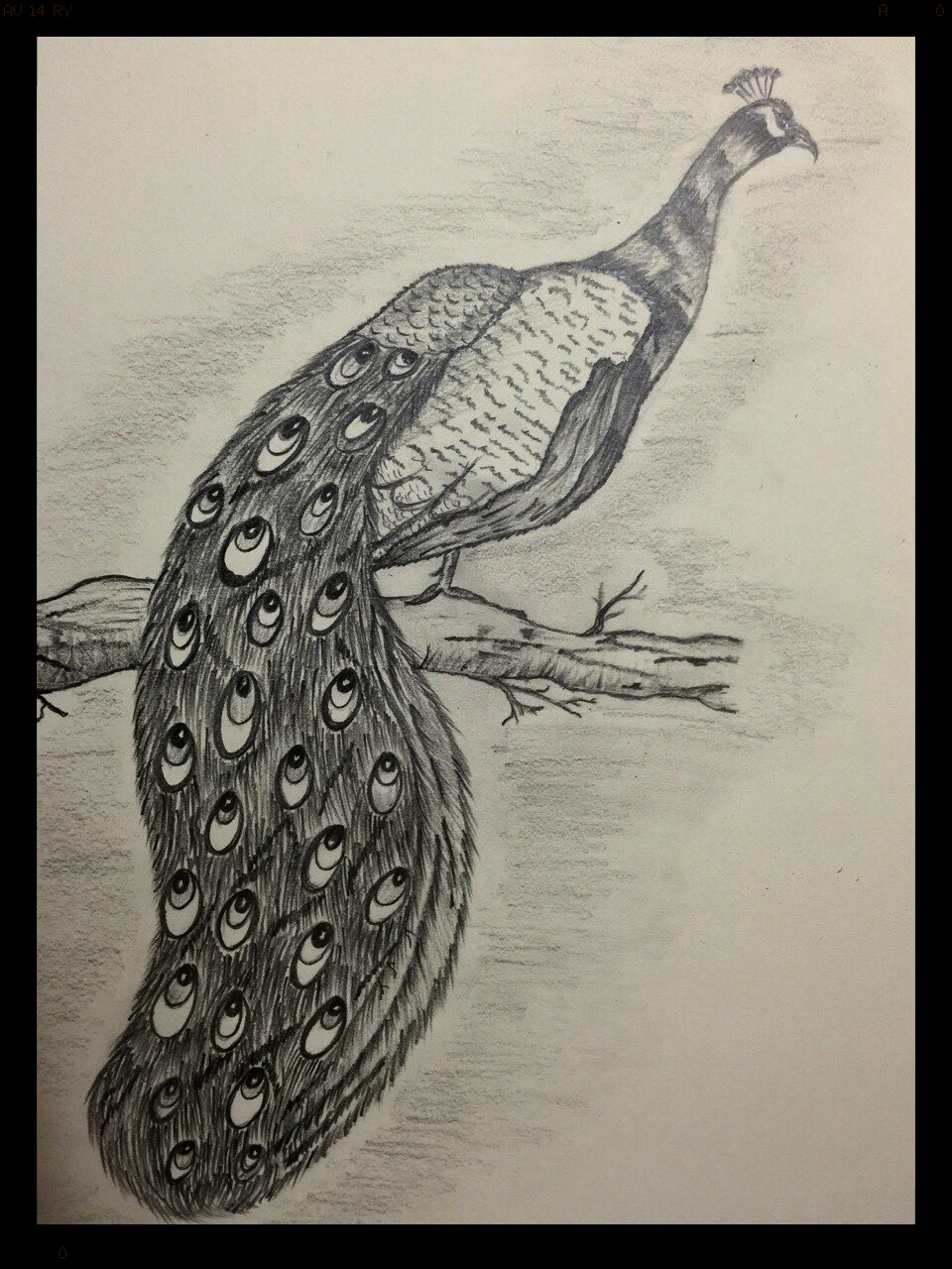 Peaceful Peacock