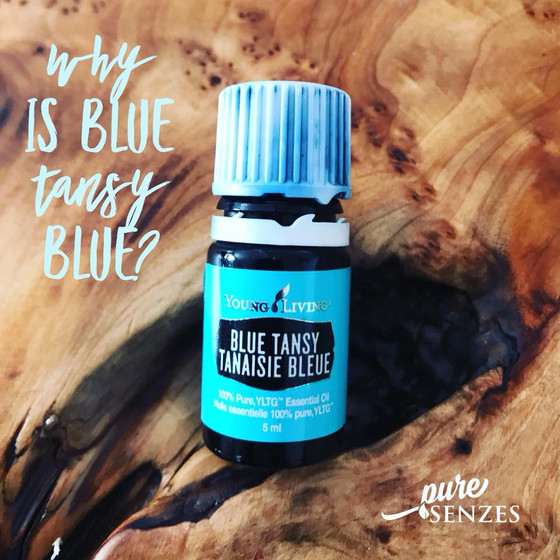 Why is Blue Tansy Blue?
