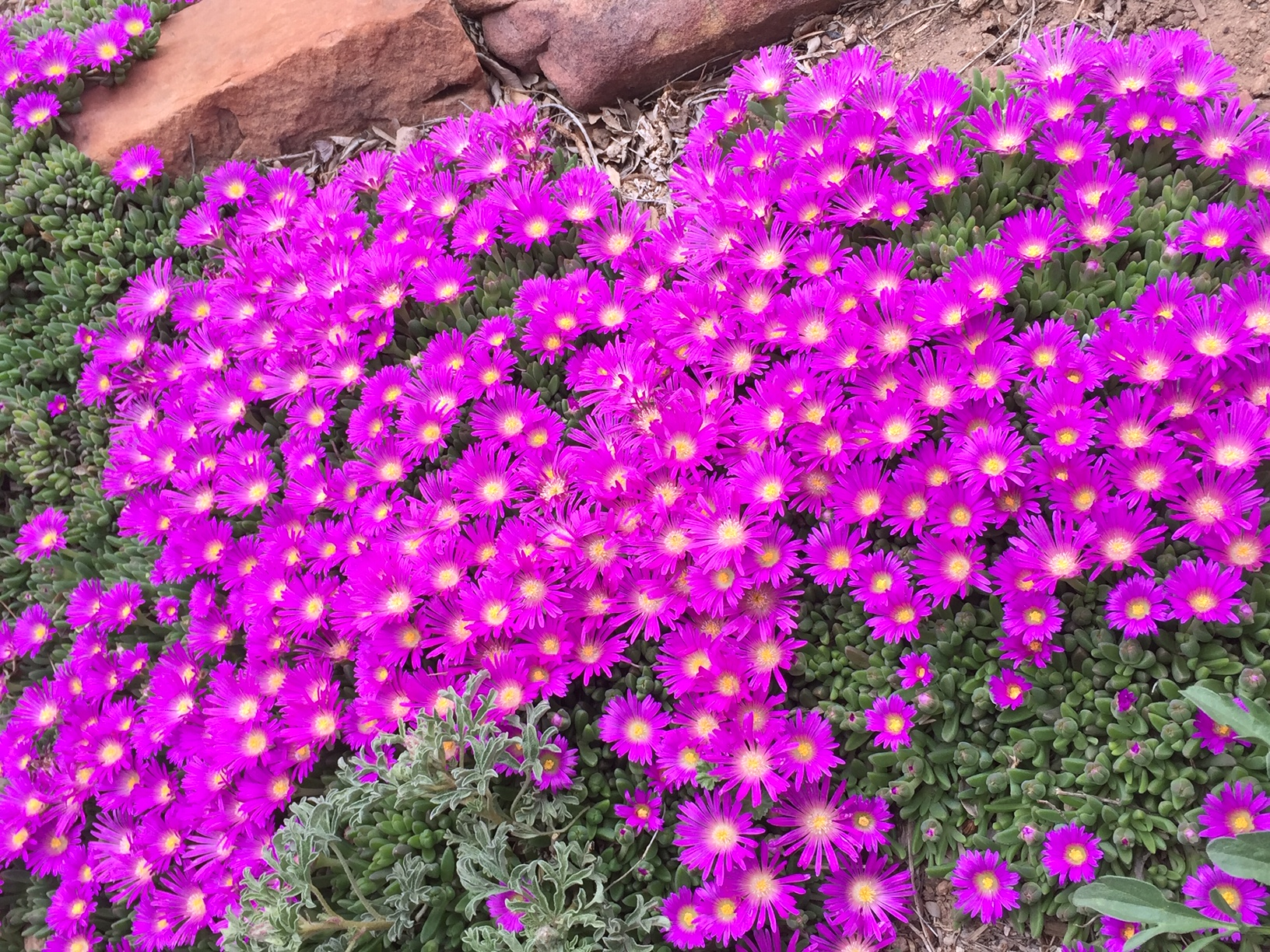 Ice Plant, Early Spring