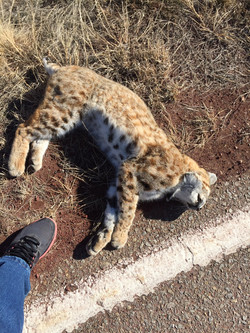 Bobcat Roadkill