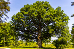 350-jähriger Baum