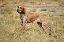 Bracco Italiano breeder