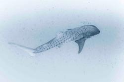 retro whale shark