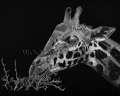 Giraffe eating Acacia Leaves in Africa