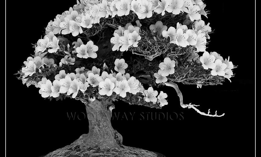black & white bonsai