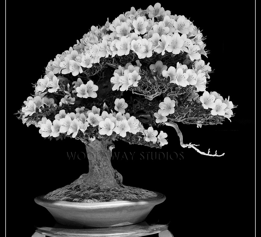 black & white bonsai