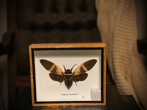 Authentic Antique Fulgora Candelaria Framed shadowbox display