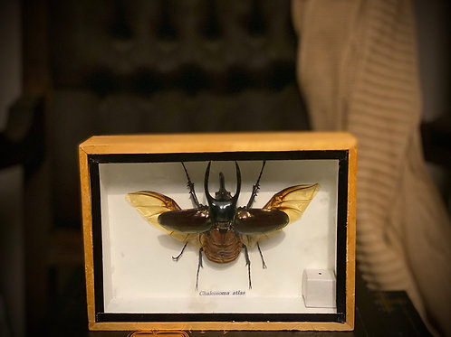 Authentic Antique Chalcosoma Atlas Framed shadowbox display