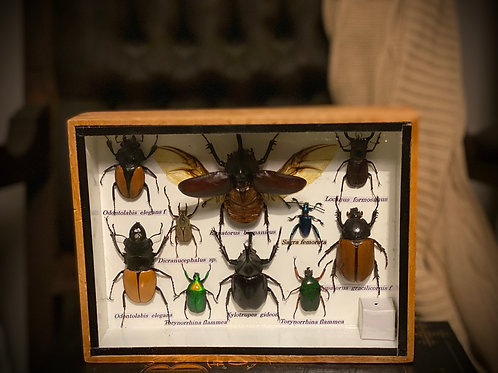 Authentic Antique beetle variety Framed shadowbox display
