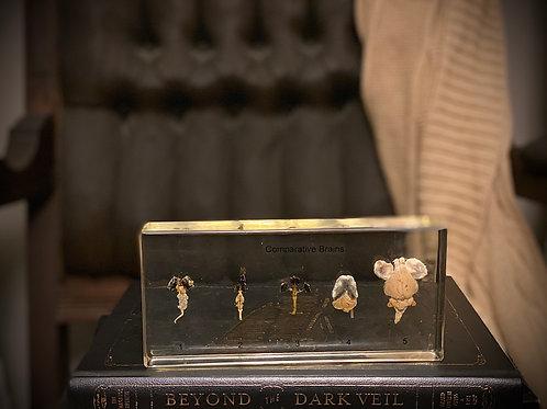 Authentic Antique comparative Brains