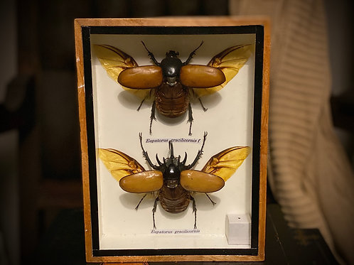 Authentic Antique Eupatorus Eracilicornis m. and f. Framed shadowbox display