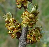 Gemme e polline di olivello spinoso