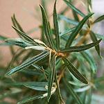 foglie di olivello spinoso