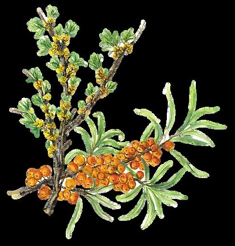 rami di olivello spinoso, polline, bacche, foglie