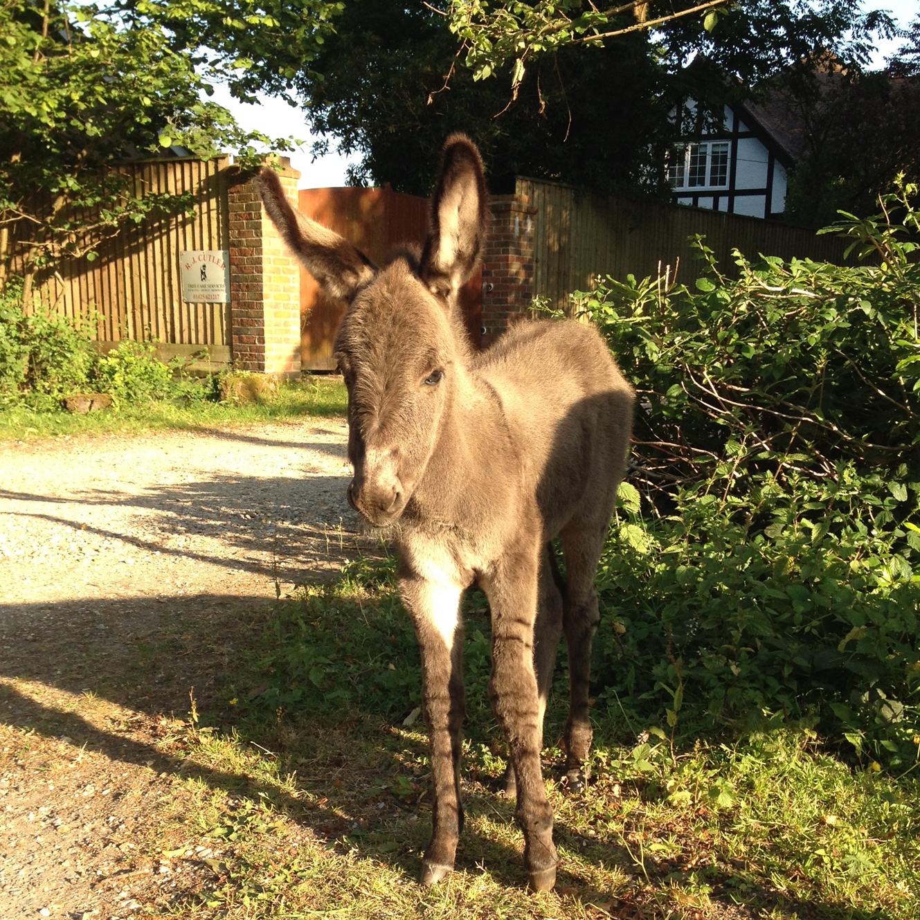 Brockenhurst baby donkey