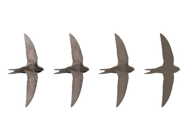 Hampshire Swifts