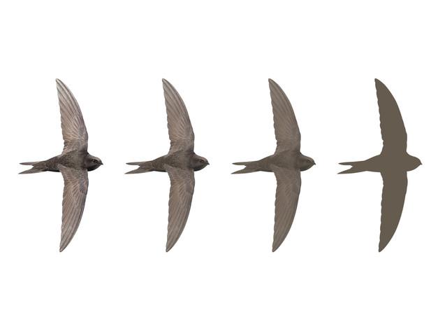 Hampshire Swifts