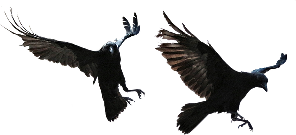 pngfind.com-crow-png-504825.png