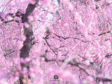【撮影地情報】大阪から行ける関西の枝垂れ梅の名所