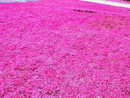 【撮影地情報】大阪から行ける関西の芝桜の名所