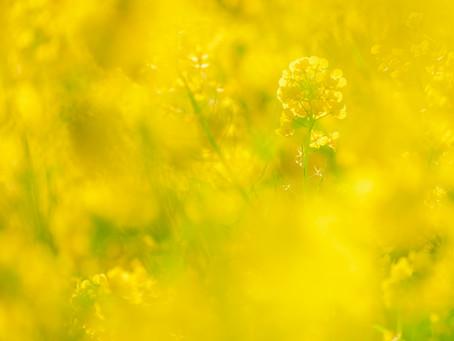 【撮影地情報】大阪から行ける関西の菜の花畑