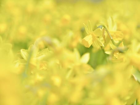【撮影地情報】関西にある水仙の名所