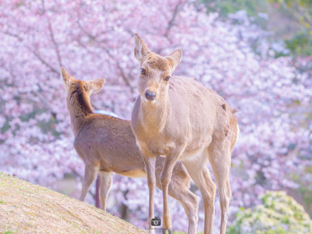 【撮影地情報】奈良で撮るべき桜の名所