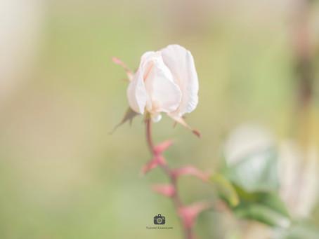 【撮影地情報】大阪から行ける関西のバラの名所