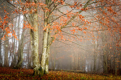 Fagus forest in autumn