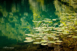 water lilies levico