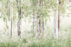 soft gum trees