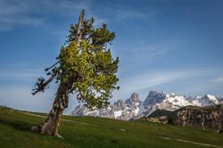 cristallo and ancient tree