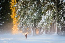 Roe deer in the snow, Marcesina