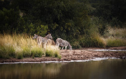 zebra at water hole