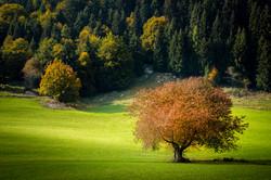 Wild cherry tree in autumn