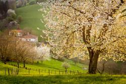 Cherry trees in Vitarolo