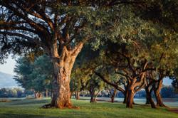 thorn tree pecan wood