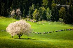 flowering cherry 2016