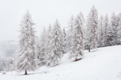 larches in the snow