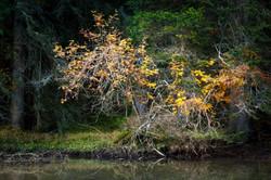 Golden foliage, Dolomites