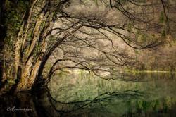 levico trees